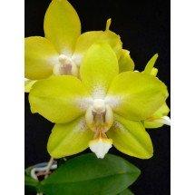 Phalaenopsis  Dragon's Gold '24K'  (P. Taipei Gold x P. amboinensis)