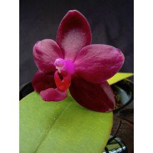 Phalaenopsis Sogo Pony Miro