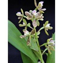 Anacheilium crassilabium (Syn. Encyclia vespa)