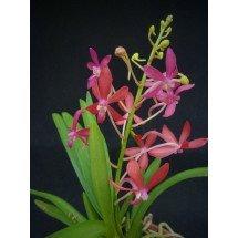 Neofinetia falcata x Asc. curvifolium