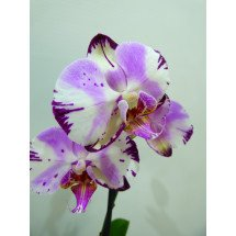 "Doritaenopsis Fursheng`s Mystical Dream ""Come True"" HCC/AOS"