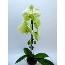 Phalaenopsis Norman`s Jade `Green Apple`