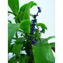Lymania Smithii blauw