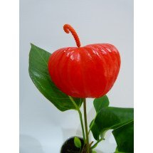 "Anthurium floretti ""Red"""