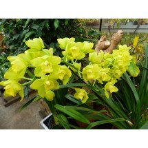 Cymbidium Shiny Yellow