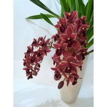 Cymbidium Dorothy Stockstill `Forgotten Fruits`