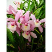 "Cymbidium Hiroshima Sweet Eyes ""Pink Temptation"""