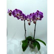 """Phalaenopsis Anastasia """"Purple Blaze"""""""