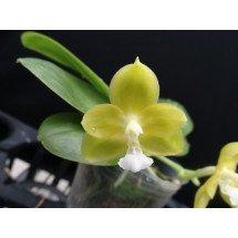 Phalaenopsis (Gelblieber x mannii)
