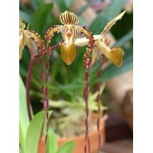 Paphiopedilum Angel Hair (P. St.Swithin x P. sanderianum)