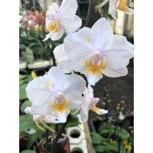 Phalaenopsis Liu´s Sakura 'Pünktchen'