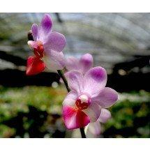 Phalaenopsis Liu's Cute Angel (Dtps.Jia Ho Cherry x P.lobbii)