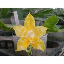 Phalaenopsis amboinensis alba