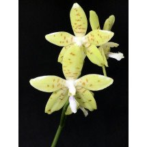 Phalaenopsis pallens