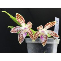 "Phalaenopsis speciosa ""Red"" x speciosa ""Select"" ( 1 )"