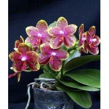 Phalaenopsis venosa x amboinsis x timothy