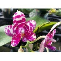 """Phalaenopsis KS Super Zebra """"Yaphon"""""""