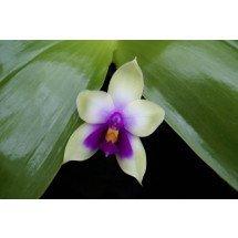 Phalaenopsis bellina `Ponkan`