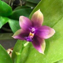 Phalaenopsis Yaphon Pinpon x Phalaenopsis violacea