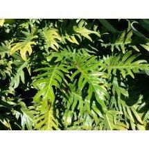 "Philodendron xanadu ""Long Thin Type"" ""Big Plant"""