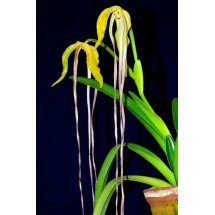 Phragmipedium lindenii