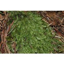 Groen Mos 'Plagiothecium curvifolium' (Levend)
