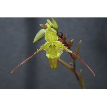 Phragmipedium longifolium ''Big''