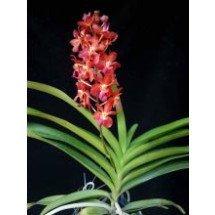 Renanthera storeii x Ascda Bankok Sunset  (Big Plant)