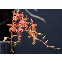 Renanthera monachica