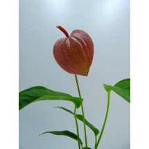 Anthurium Scherry Pink