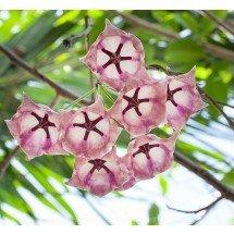 Hoya archboldiana