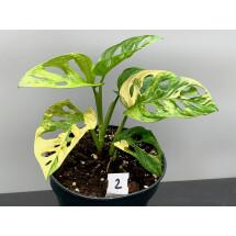 Monstera adansonii variegated aurea nr 2