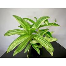 Callisia Fragans Variegata ( 2/3 Big Plant )