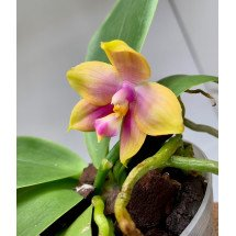 Phalaenopsis Zheng Min Pixel ( SELECTION )