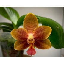 Phalaenopsis corningiana x Dragon Tree DT 168  'Brown limited edition'