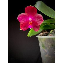 """Phalaenopsis (Violacea FS x Zheng Min Etching) x P.KTC Khao Kitchakut) """"Limited Edition"""""""