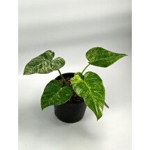 Philodendron Giganteum Variegata