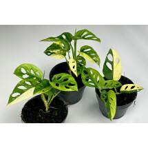 Monstera adansonii variegated aurea mix (5-7 Leaves)
