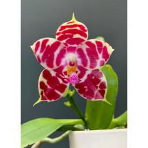 "Phalaenopsis KS Super Zebra ""Kung Sir"" SM/TOGA"