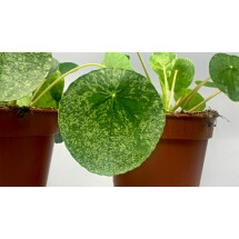 Pilea Peperomioides variegata (Mojito)