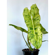 Philodendron Paraiso Verde ''2-3 leaves'' cutting