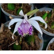 """Pleione humilis """"Purple Lip"""""""