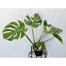 Monstera Thai Constellation ''15.5 cm pot""