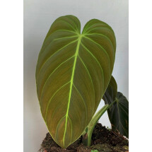 Philodendron melanochrysum ''6  Leaves""