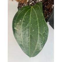 Hoya Latifolia ''leaf with stem''