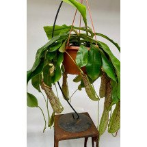 "Nepenthes ""Mojito"""