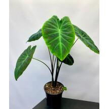 """Colocasia esculenta var. antiquorum """"Black Beauty"""""""