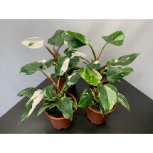 Philodendron White Princess '' 4 a 5 leaves''