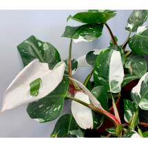 Philodendron white princess ''Select selection''