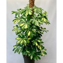 Schefflera arboricola ''gold capella''( Vingerboom, 80/90 cm hoog 4 st in een pot)
